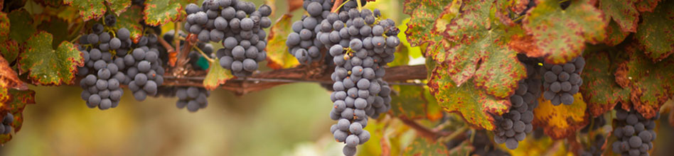 French grapes in fall